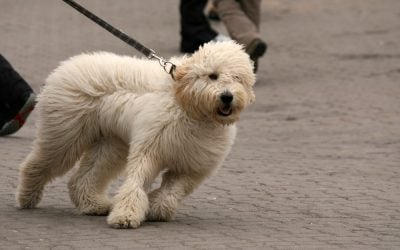 How to Stop a Dog from Pulling on their Dog Leash